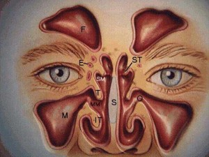 sinuses nose