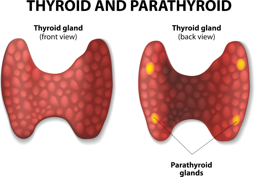 thyroid glan