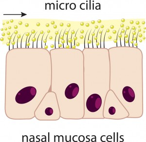 Tiny hair-like projections (mucosal cilia)